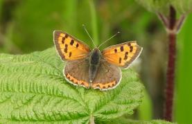 Small Copper (Lycaena phlaeas) (image © Jane VonHeide)