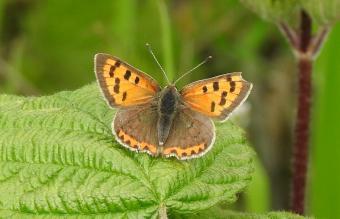 Small Copper (Lycaena phlaeas) (image © Jane VonHeide)