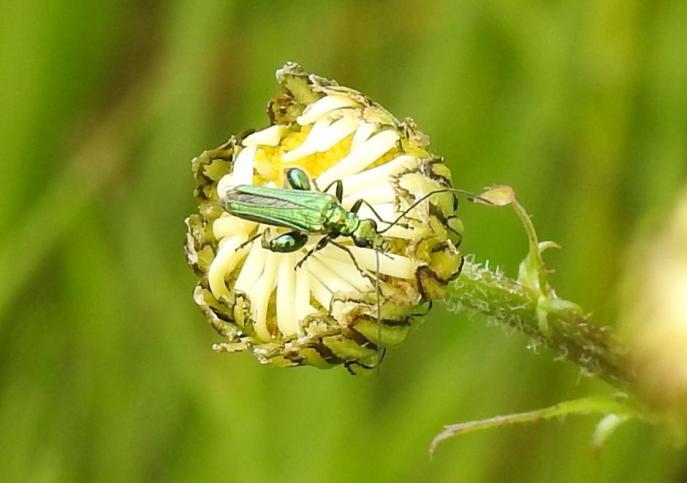 Thick-legged Flower Beetle (Oedemera nobilis) (image © Jane VonHeide)