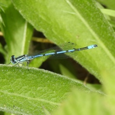 Common Blue-damselfly (Enallagma cyathigerum) (image © Jane VonHiedi)