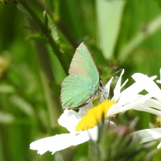 Green Hairstreak (Callophrys rubi) (image © Jane VonHiedi)