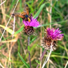 Hornet Mimic Hoverfly (Volucella inanis) (image © Mike Poulton)