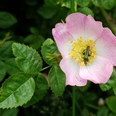 Thick-legged Flower Beetle (Oedemera nobilis) (image © Mike Poulton)