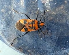 Black and Red Squash Bug (Corizus hyoscyami) (image © Mike Poulton)