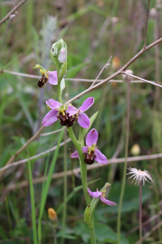Bee Orchid (Ophrys apifera) (image © Andy Beaton)