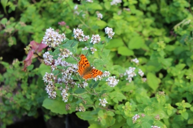 Comma (Polygonia c-album) (image © Andy Beaton)