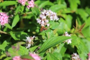 Mint Moth (Pyrausta aurata) (image © Andy Beaton)
