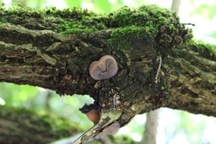 Jelly Ear fungus (Auricularia auricula-judae) (image © Andy Beaton)