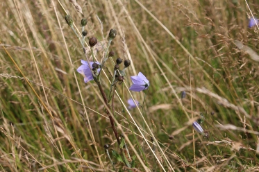 Harebells (Campanula rotundifolia) (image © Andy Beaton)