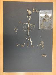 The final vole skeleton.