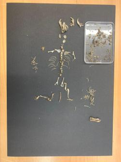 The final vole skeleton.